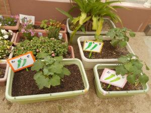 夏野菜が元気に育っています!(^^)!