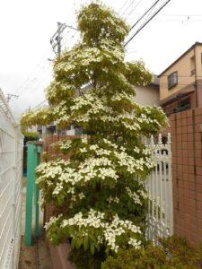 ヤマボウシの花が咲きました!